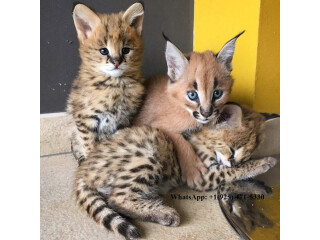 Gatitos Serval, Savannah y Caracal.